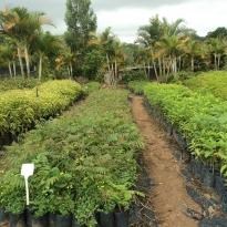 taruma-viveiro-de-arvores-nativas-campinas-06