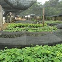 taruma-viveiro-de-arvores-nativas-campinas-08